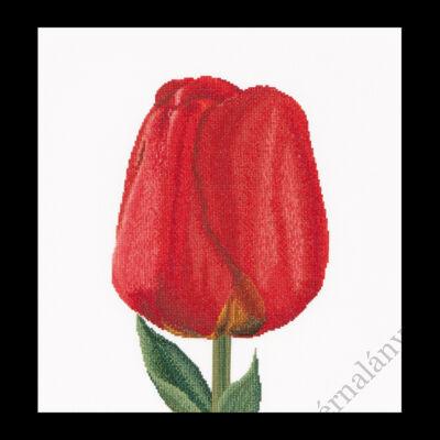 Piros Darwin tulipán - keresztszemes tulipán